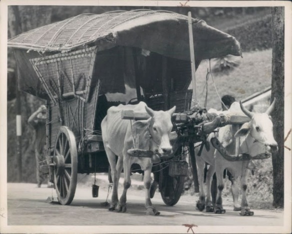 1935 Photo sacred cattle of India pulling a covered wag
